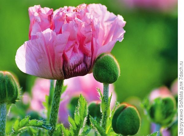 Лепестки мака 'Helen von Stein' в бутоне выглядят так, словно они измяты. По мере того как цветок раскрывается, лепестки полностью выпрямляются.