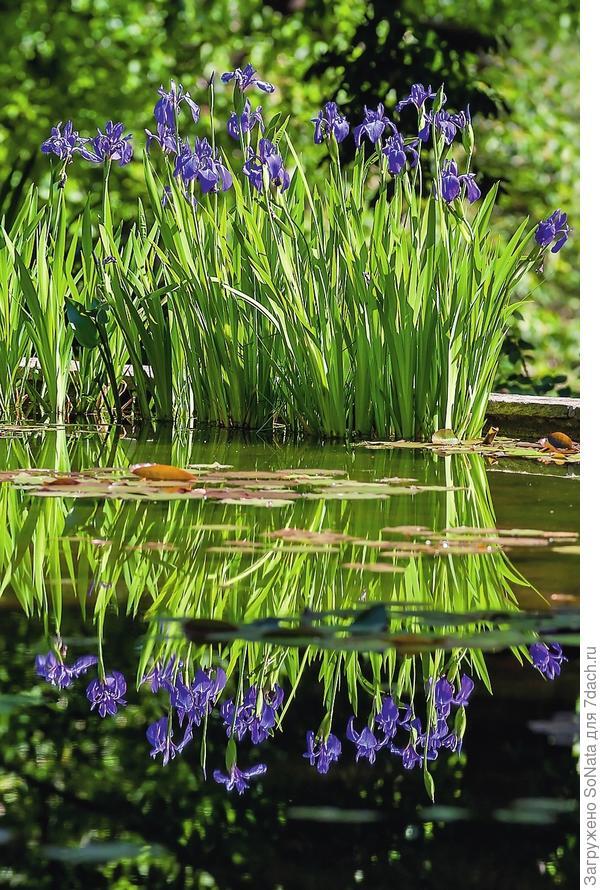 Отражаясь в воде, ирисы приумножат свою красоту.