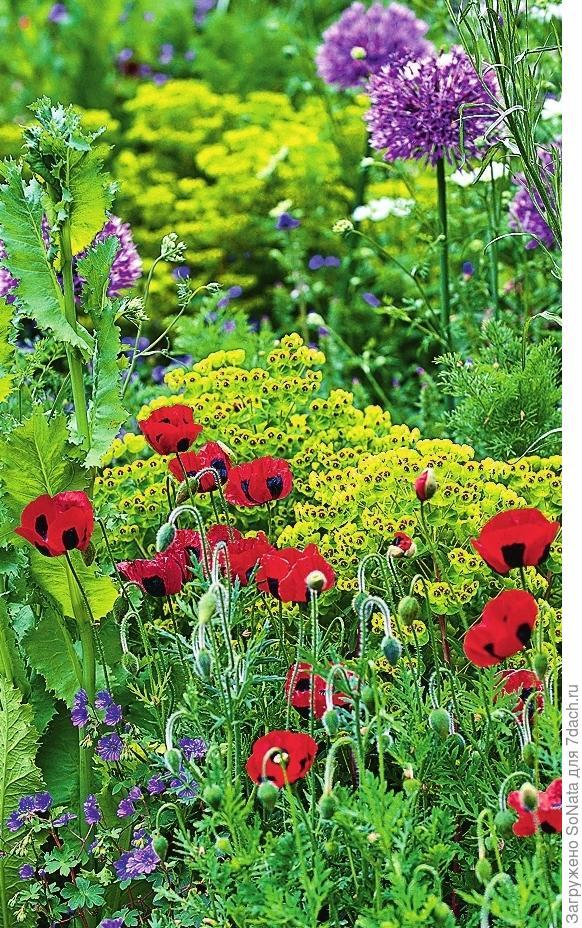Мак измененный 'Ladybird' цветет с июля до сентября.