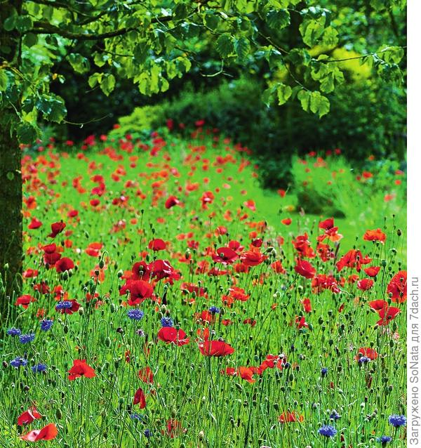 Классический летний тандем - красные маки и синие васильки. Чтобы воссоздать такую лужайку, выделите участок побольше - так композиция будет выглядеть особенно эффектно.
