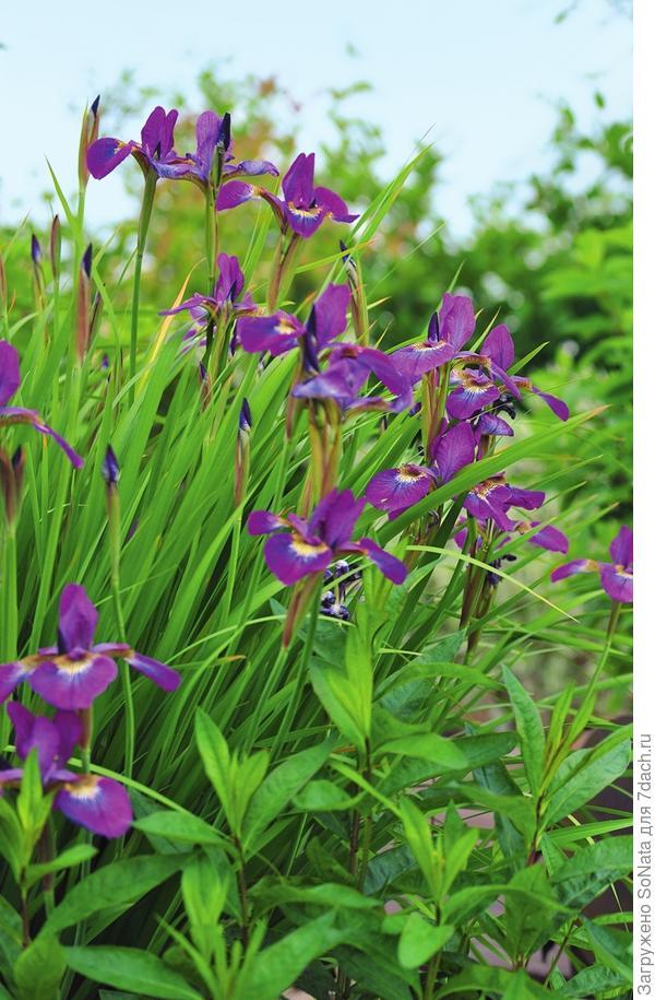 Радуга! Именно так переводится название цветка, история которого насчитывает тысячелетия.