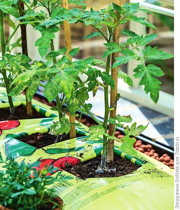 Посадить томаты можно прямо в пакет с субстратом. Выбирайте для этого низкорослые сорта.