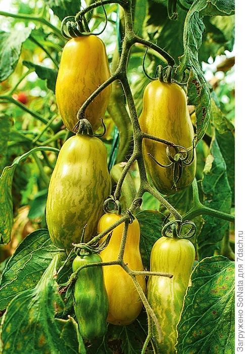 'Banana Legs' относится к одним из самых урожайных томатов старых сортов.