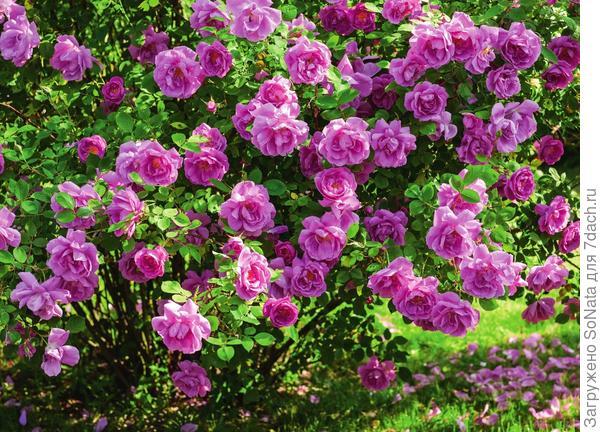 Июль - месяц, когда растения, радуя глаз, наперегонки выбрасывают цветочные стрелки и бутоны, наполняя сад, а вместе с ним и душу, нежными, чарующими ароматами лета.