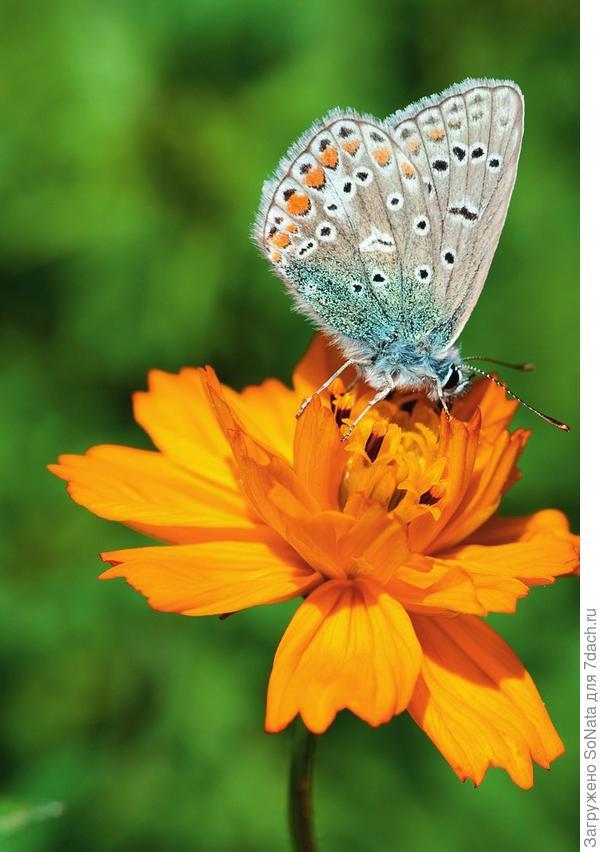 Бабочка-голубянка пьет нектар из космеи серно-желтой (Cosmos sulphureus).