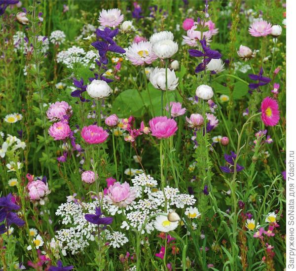 К цветам, задающим тон, относятся иберис, шалфей пестрый, льнянка марокканская, гелиптерум, душистые бархатцы, а также кос мея дваждыперистая (Cosmos bipinnatus) с цветками самых разнообразных оттенков.
