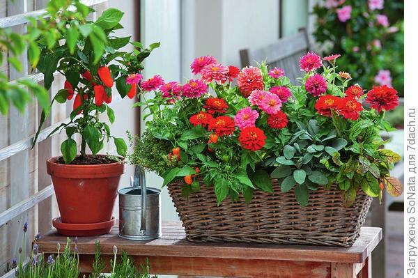 Красотки циннии, постоялицы горшков и ящиков, оживят любой уголок дачи цветками жизнерадостной окраски.