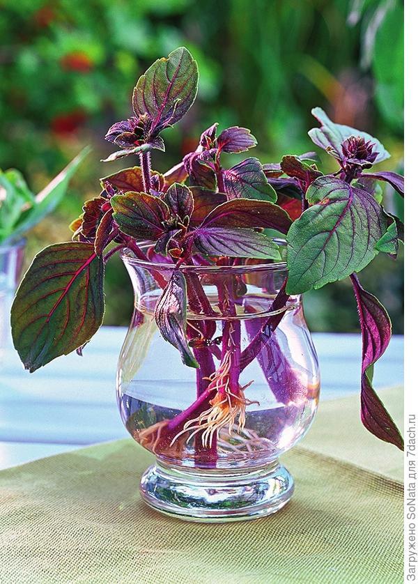 Базилик любого сорта можно легко размножить зелеными черенками.