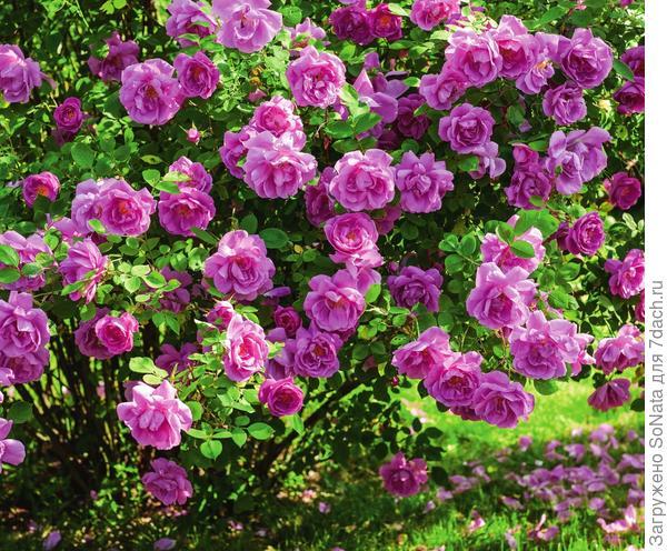 Бургундская роза 'Adam Messerich'