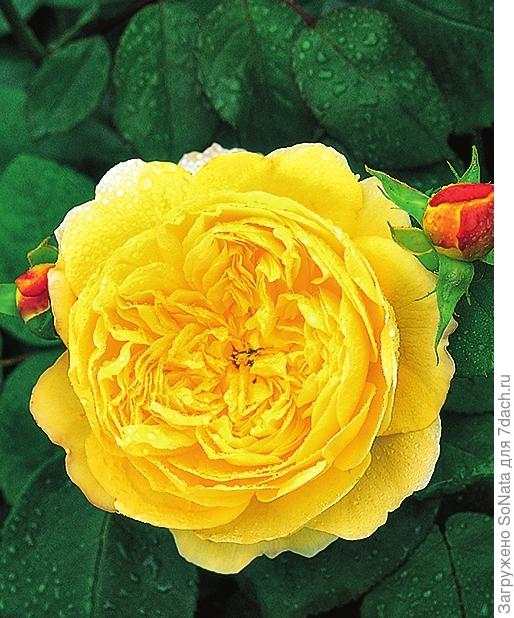 Роза 'Charles Darwin'