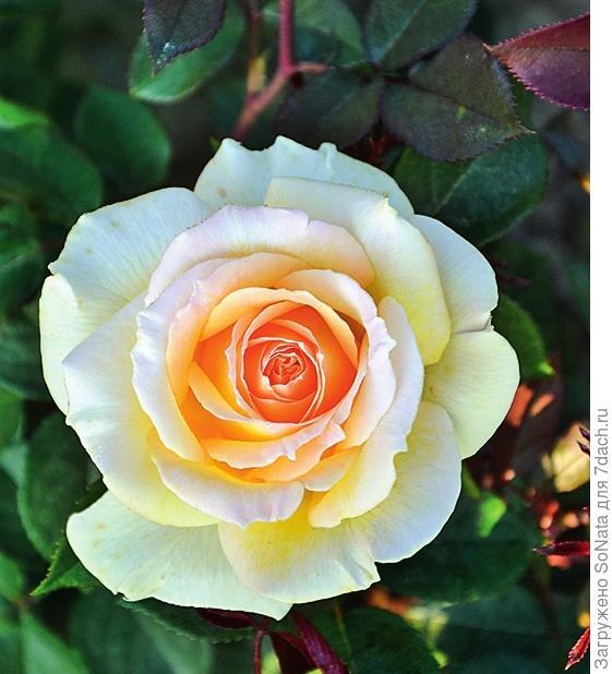 Роза Ambassador