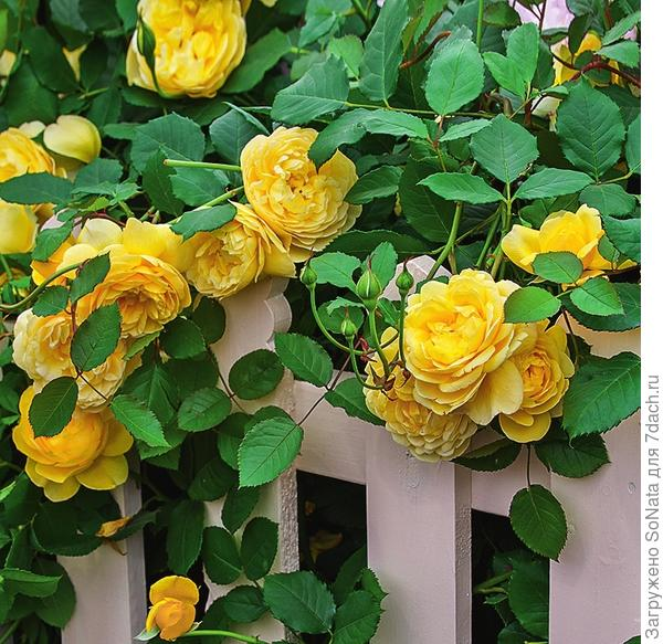 The Poet's Wife' - английская роза.