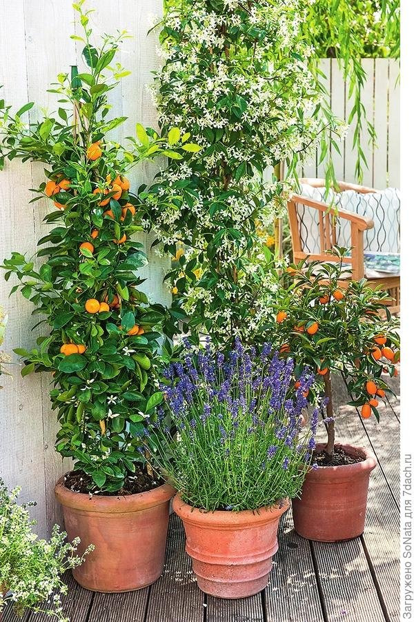 Чем теплее и светлее, тем ярче благоухание чудо-цветков: на южной террасе воздух ароматизируют цитрусовые растения и звездчатый жасмин.