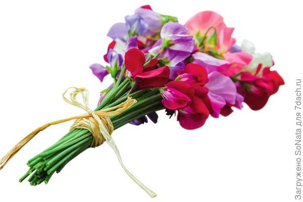 Душистый горошек (Lathyrus odoratus) - вьющееся растение, которое непрерывно цветет все лето. Сделайте букетик - и его нежный аромат наполнит ваш дом.