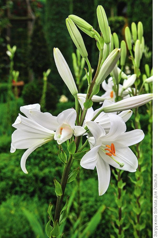 «Цветок Девы Марии» - так в Средневековье называли лилию белоснежную (Lilium candidum).