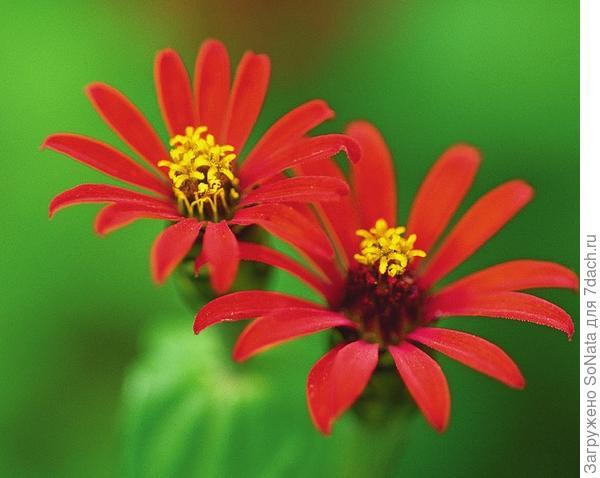 Цинния перуанская 'Red Spider'