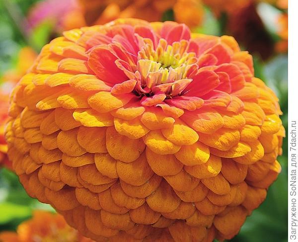 Цинния 'Orange King'