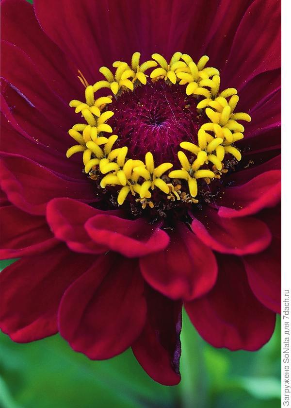 В центре соцветия этого удивительного растения находится коронка из 120 трубчатых цветков желтой окраски.