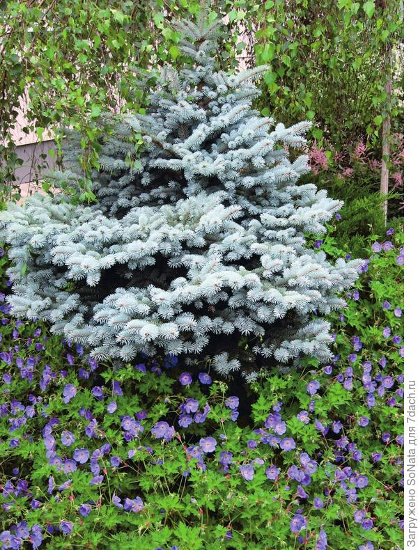 Самый простой способ - простая стрижка, при которой равномерно укорачивают годовые приросты всех ветвей.