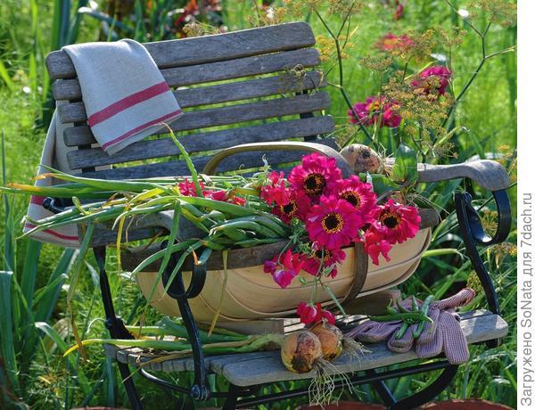 На дачных участках циннии высаживают отдельно на грядку или вместе с другими летними цветами.