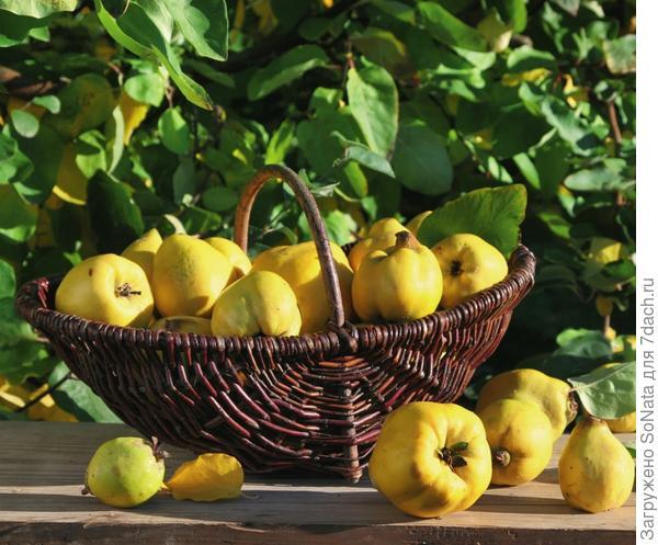 Плоды, имеющие форму груши, мягче и слаще на вкус.