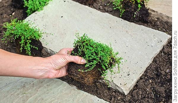 Распределите растения на расстоянии около 20 см друг от друга.