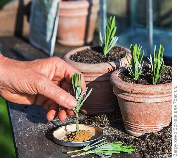Чтобы черенки быстрее окоренились, обмакните кончики в порошок, стимулирующий корнеобразование, и уже затем сажайте в горшки.