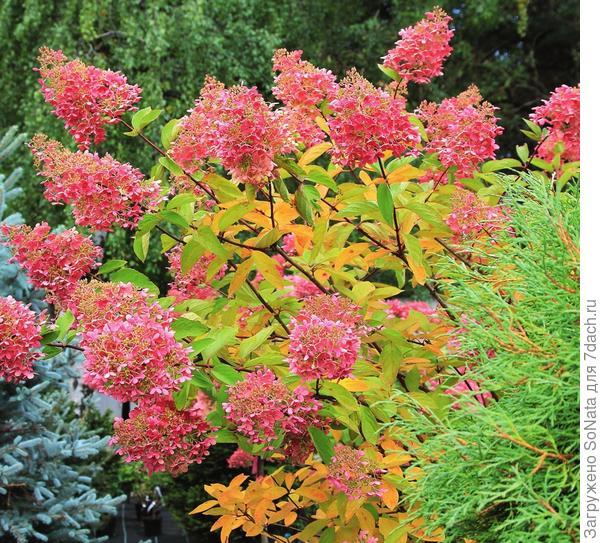 Метельчатая гортензия осенью нуждается только в санитарной обрезке, а засохшие соцветия лучше оставить на кусте до весны.