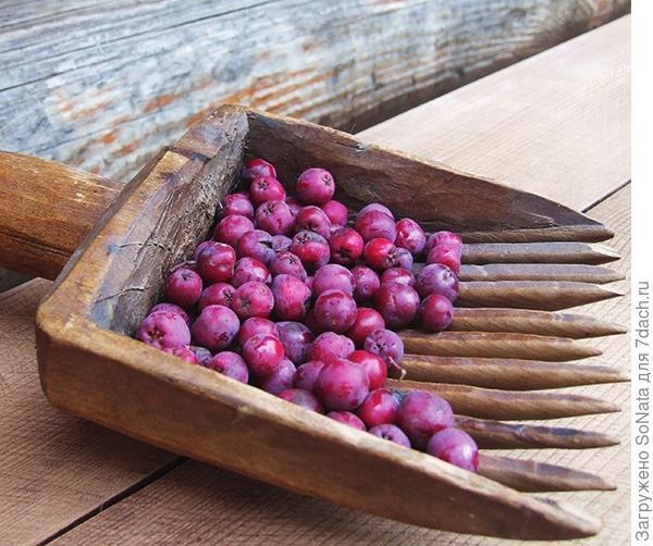 Если обычная рябина кажется вам банальной, посадите сорт, например, с бордово-пурпурными плодами.