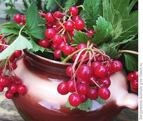 Калина хороша не только полезными плодами, но и кружевным цветением, красивой листвой.