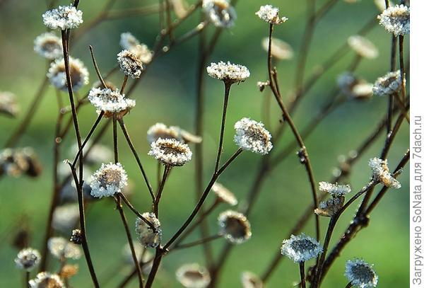 Филигранные соцветия-корзинки пижмы (Tanacetum), покрытые кристалликами льда, эффектно искрятся и светятся на солнце.