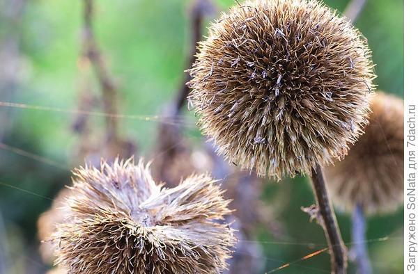 Очень эффектно выглядят крупные шарики соцветий мордовника (Echinops)