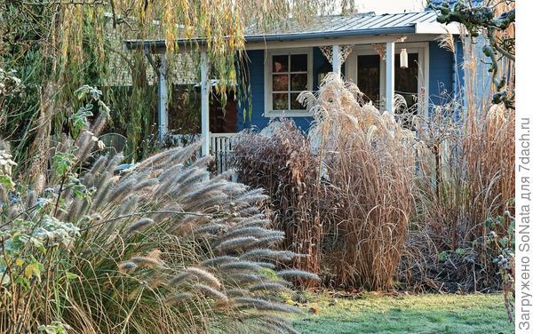 Покрытые изморозью ажурные метелки поздноцветущих декоративных трав, таких как мискантус китайский и плоскоколосник широколистный, радуют глаз совершенством форм.
