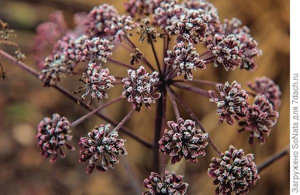 Дудник лесной (Angelica sylvestris) 'Vicar's Mead' даже после высыхания очаровывает красноватыми соцветиями.