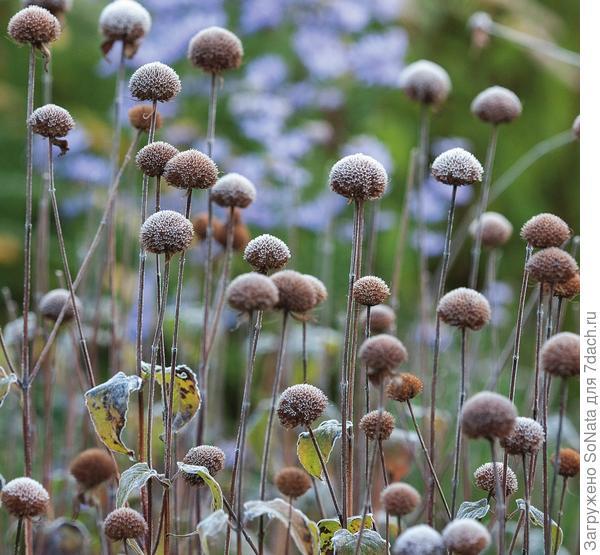 Осенью от растрепанных соцветий монарды (Monarda) остаются аккуратные светло-коричневые головки, которые, словно маленькие воздушные шарики, парят над цветником на высоких прочных цветоносах.