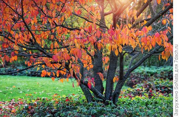 Листва сливы мелкопильчатой (Prunus serrulata) осенью окрашивается в красновато-желтые тона.