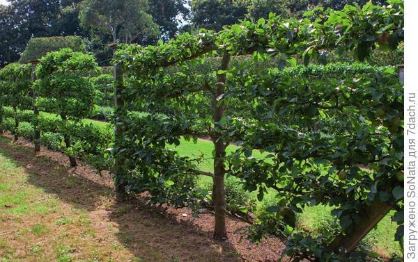 Живая изгородь из выстроенных в вертикальную линию яблонь или груш - еще один интересный вариант применения шпалер. Она делит сад на зоны.