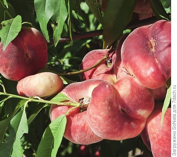К плоским персикам относится сорт Никитский плоский.