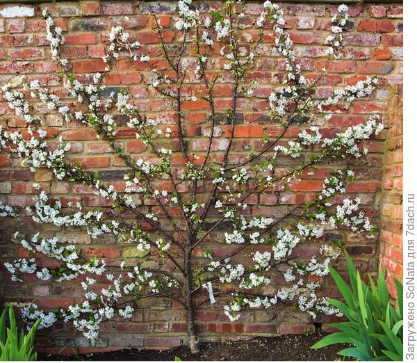 Кирпичная стена накапливает тепло и по ночам отдает его. Это идет на пользу растениям, особенно южным, таким как персик или абрикос.