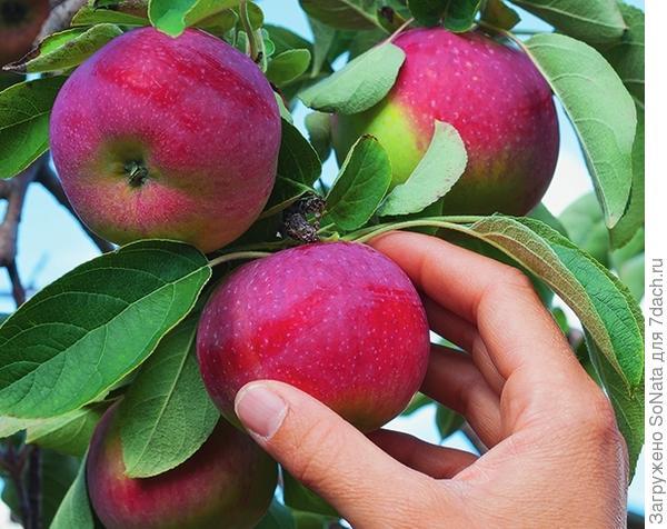 Сорт яблони Желанное