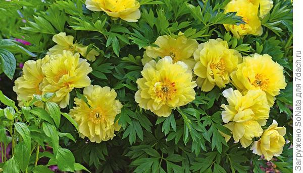 В середине июня свои желтые цветки диаметром до 25 см раскрывают растения роскошного сорта Bartzella.