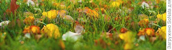 Если рядом с участком много деревьев, особенно берез, то осенний листопад полностью накроет газон. Опавшие листья надо убрать, чтобы не нарушился воздухообмен.
