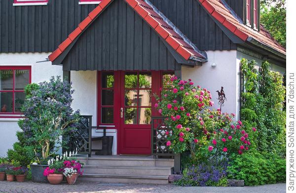 Роза Rosarium Uetersen, растущая у входной двери в дом, пленяет крупными густомахровыми цветками темно-розовой окраски. Беседу тет-а-тет с королевой цветов ведет картофельное дерево (Solanum rantonnettii) в горшке, усыпанное многочисленными фиолетово-синими цветками-звездами.