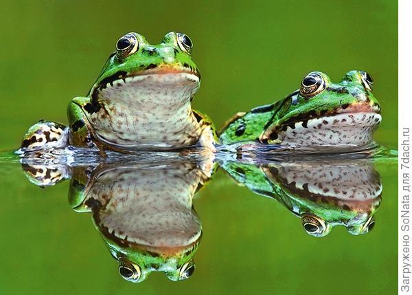 Прудовых лягушек круглый год можно видеть в облюбованном ими водоеме.