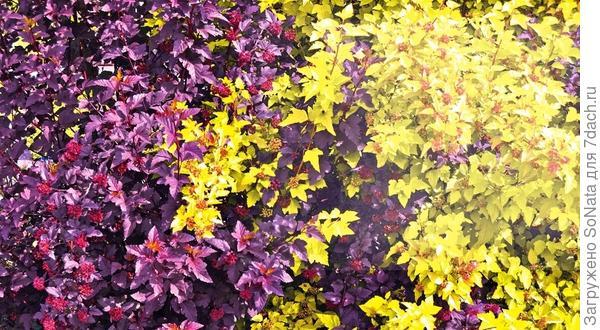 Пузыреплодники помогут создать на участке эффектный цветовой контраст.