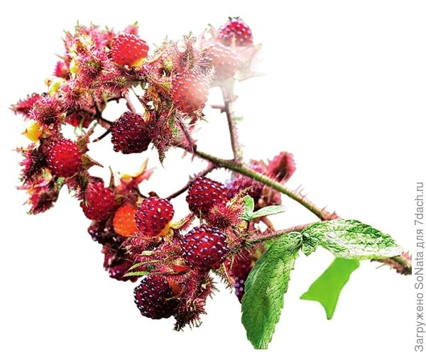 У малины пурпурноплодной стебли и чашечки цветков покрыты безобидными иголочками.