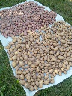 Как сажать горчицу с картошкой