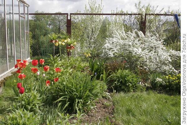 Сад луковичных можно устроить в любом уголке сада