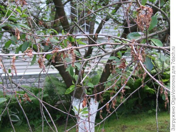 Если вам никак не удаётся справиться с монилиозом - может быть, сад спланирован неправильно