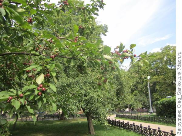 А вот и плодовые деревья - есть у нас теперь своя гранатовая рябина